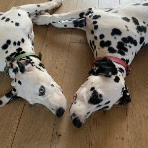 Couple dalmatien